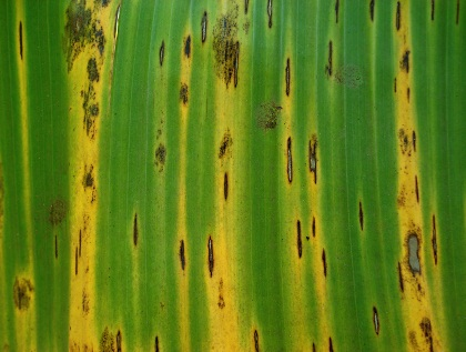 Material da bananeira